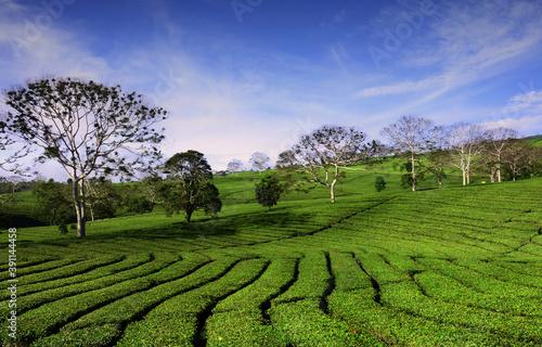 Foto green tea plantation