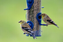 Two Goldfinches At A Backyard ...