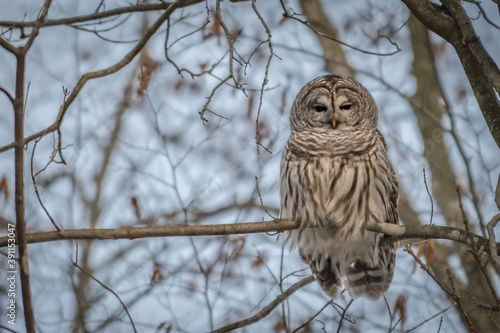Photo Barred owl perched on a branch in winter landscape