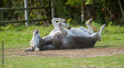 Canvas Print donkey rolling in the dirt with legs in the air scratching back on small farm in