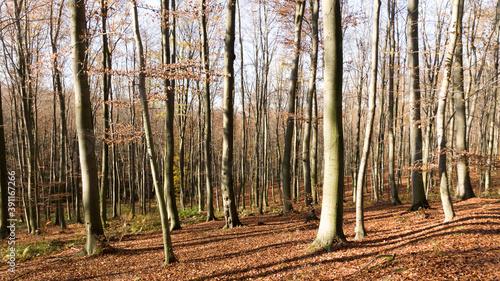 Fotografie, Obraz Autumn beech forest fallen leaves (Subcarpathia Poland)