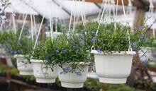Lobelia Flowers In Hanging Planters
