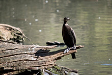 The Little Black Cormorant Is Resting On A Log