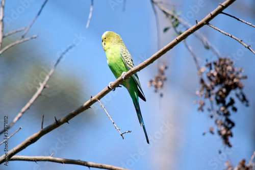 Photo the parakeet is perched on a branch