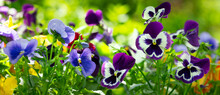 Colorful Pansy Flowers Bloomin...