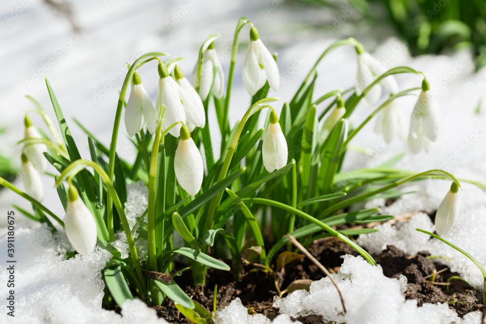 Fototapeta Snowdrop flowers blooming in snow. First spring flowers