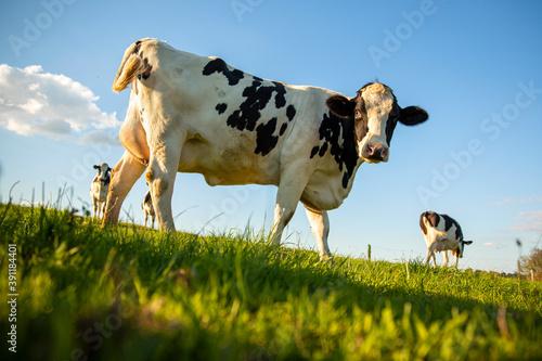 Tela Vache laitière et son troupeau dans une prairie au printemps.