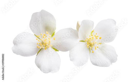 Fotografie, Obraz jasmine flowers isolated