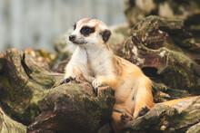 Cute Meerkat Looking With Curi...