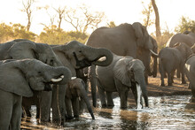 Herd Of African Elephants, Loxodonta Africana, Drink At A Water Hole During Sunset In Soft Light.