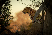 A Male Leopard, Panthera Pardus, Sits Down, Side Profile Against Orange Backdrop.