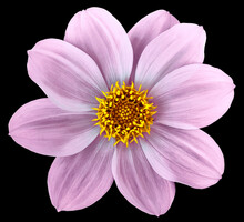 Pink Flower Dahlia Isolated On...