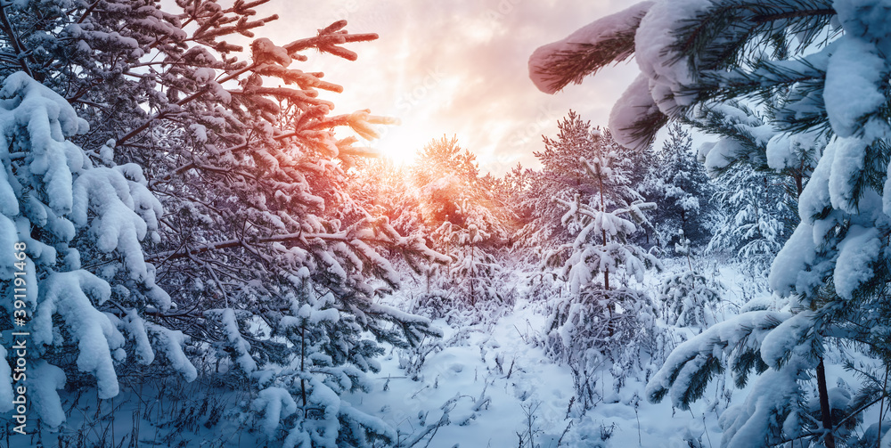 Fototapeta Winter sunset in the sunny snowy forest.
