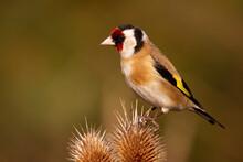European Goldfinch, Carduelis ...