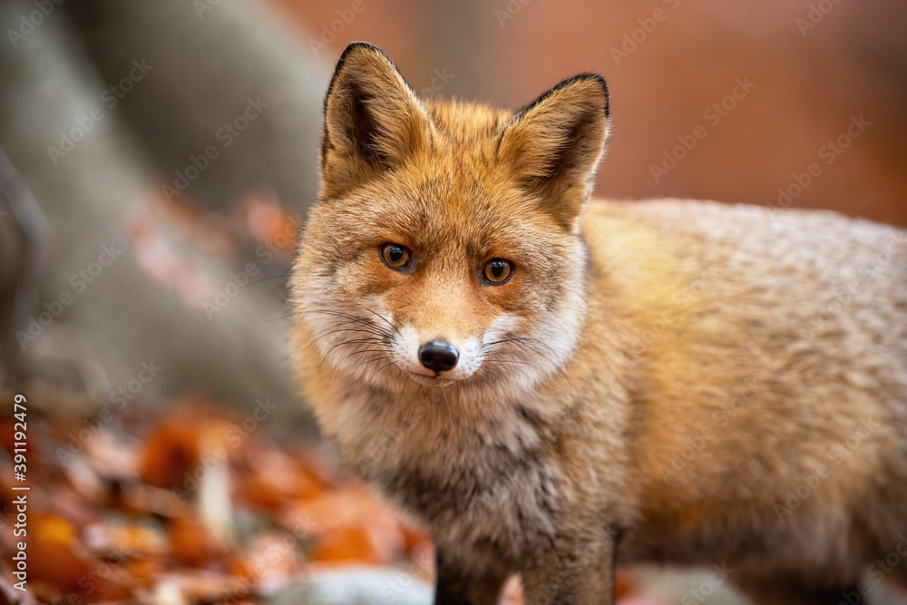 Fototapeta Red fox, vulpes vulpes, standing in woodland in autumn nature from close up. Orange furred animal looking to the camera in forest in fall. Wild predator watching in habitat.