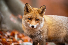 Red Fox, Vulpes Vulpes, Standi...
