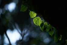 Light And Shadow On The Green Leaves Of Ivy