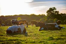 Vache Race à Viande Dans Les Pré Au Soleil.
