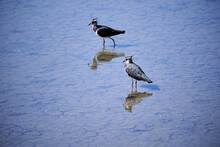 Two Lapwings In The Water