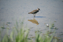 A Lapwing In The Water