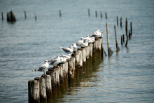 Several Seagulls On Wooden Bol...