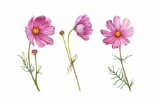 Set With Pink Flower Of Cosmea (Cosmos Bipinnatus, Mexican Aster, Garden Cosmos). Watercolor Hand Drawn Painting Illustration Isolated On White Background.