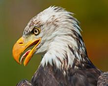 Profile Of A Bald Eagle