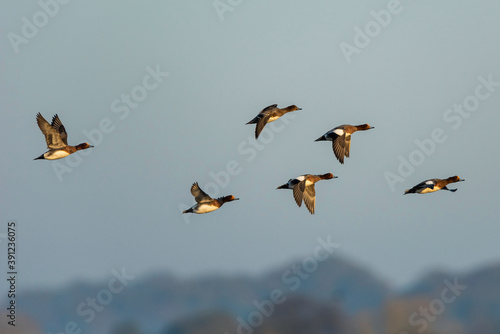 Fotografering Eurasian Wigeon (Mareca penelope) birds in flight in sky at sunrise time