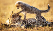 Beautiful Shot Of A Mother And A Baby Cheetah Playing In The Sun