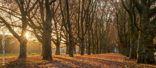 Tela Beautiful avenue of plane trees in an autumn park at sunrise