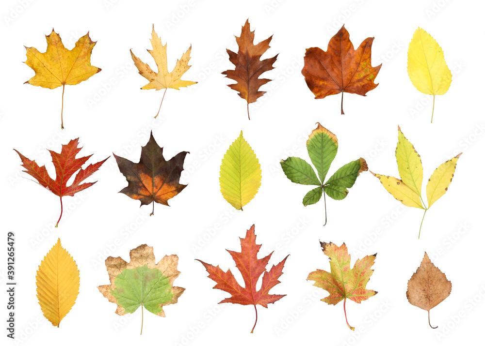 Fototapeta Set of different autumn leaves on white background