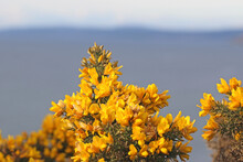 Gorse Bush In Flower In Close Up