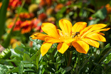 A Wasp And A Spider Sit On A Yellow Flower In Gazania, A Macro Photo In The Summer.