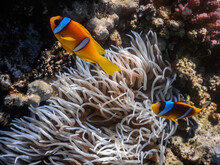 Two Anemone Fish In The Anemon...
