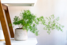 Asparagus Fern In A Pot