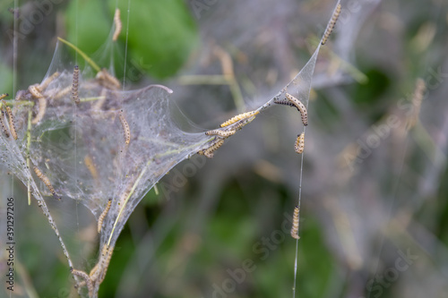 Valokuvatapetti Nesting web of ermine moth caterpillars, yponomeutidae, hanging from the branche