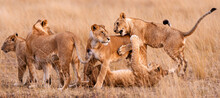 Shot Of A Group Of Lions Playing With Each Other