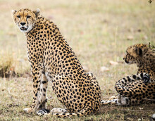 Nice Shot Of Cheetahs Resting In The Shadow