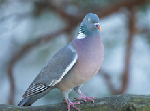 Common Wood Pigeon (Columba Pa...