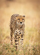 canvas print picture - Vertical selective focus shot of a cheetah in nature