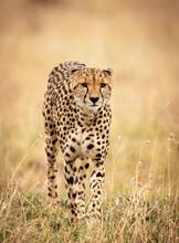 Vertical Selective Focus Shot Of A Cheetah In Nature