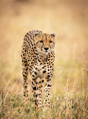 Valokuva Vertical selective focus shot of a cheetah in nature
