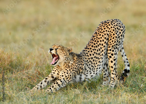 Photo Closeup shot of a cheetah stretching in Masai Mara National Park, Kenya