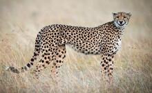 Closeup Shot Of A Cheetah In M...