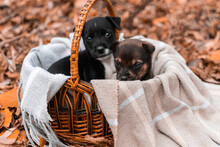 Chihuahua Puppy Sitting In A B...
