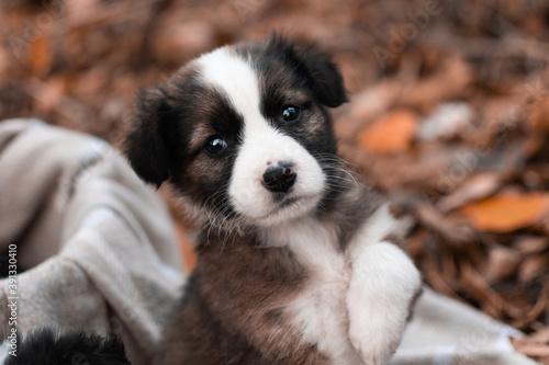border collie puppy on grass Fototapet