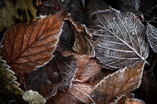 Autumn Leaves With Hoarfrost N...