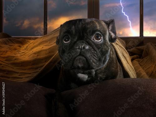 The dog is afraid of thunderstorms. Bulldog hiding under a blanket © kozorog