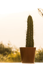 Closeup Of A Tall Cactus In A Pot Placed Outside On A Sunny Day