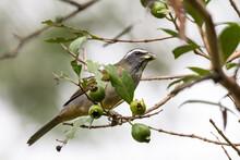 Beautiful Tropical Bird On Green Atlantic Rainforest Tree Branch